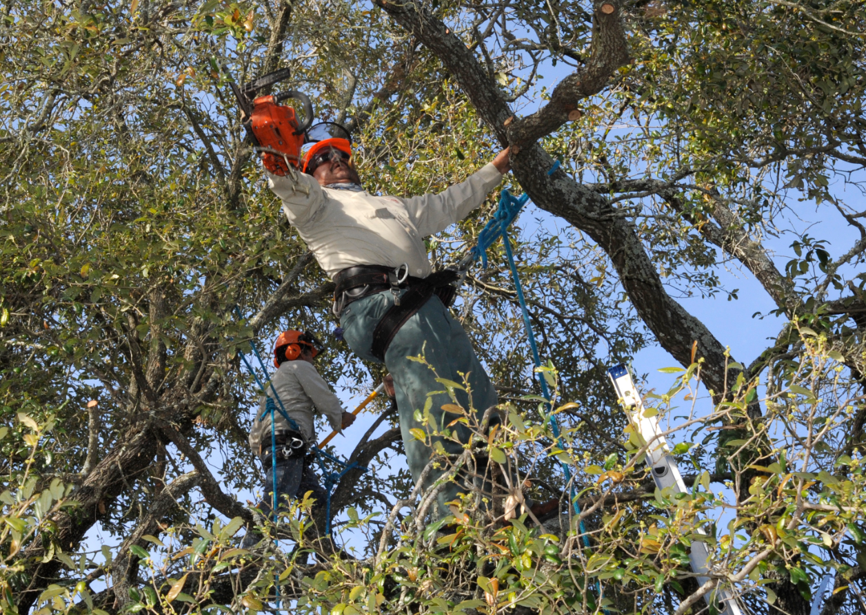 this is an image of tree service in Camarillo