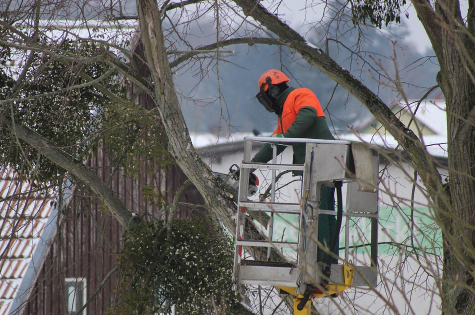 this is an image of tree pruning in Camarillo